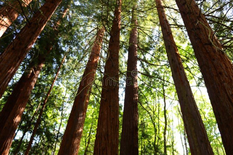 Vista acima nos pinheiros imagens de stock royalty free