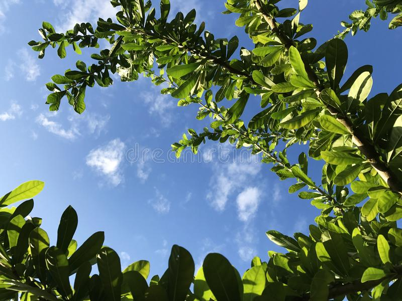 Vista acima Você verá as folhas verdes Céu azul e nuvens brancas fotos de stock
