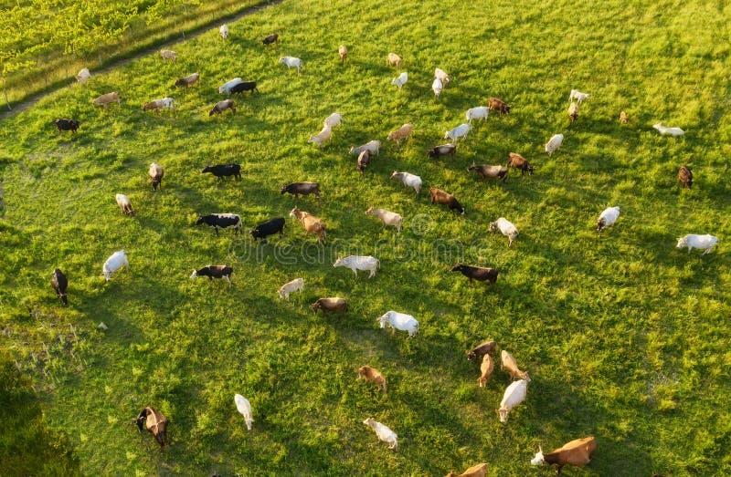 Vista aerea alle mucche Paesaggio del terreno coltivabile da aria Composizione con gli animali domestici Foto dal fuco immagine stock libera da diritti