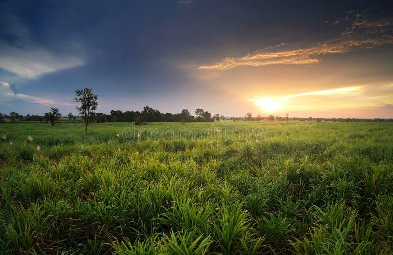 vista aerea dal giacimento della canna da zucchero del fuco con la natura l del cielo di tramonto fotografia stock libera da diritti
