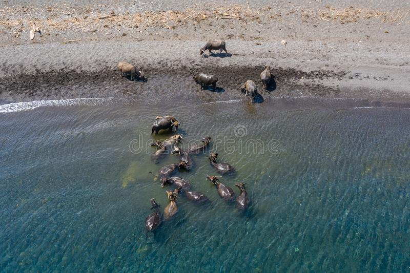 Vista aerea del bufalo d'acqua sulla spiaggia di sabbia nera fotografia stock libera da diritti