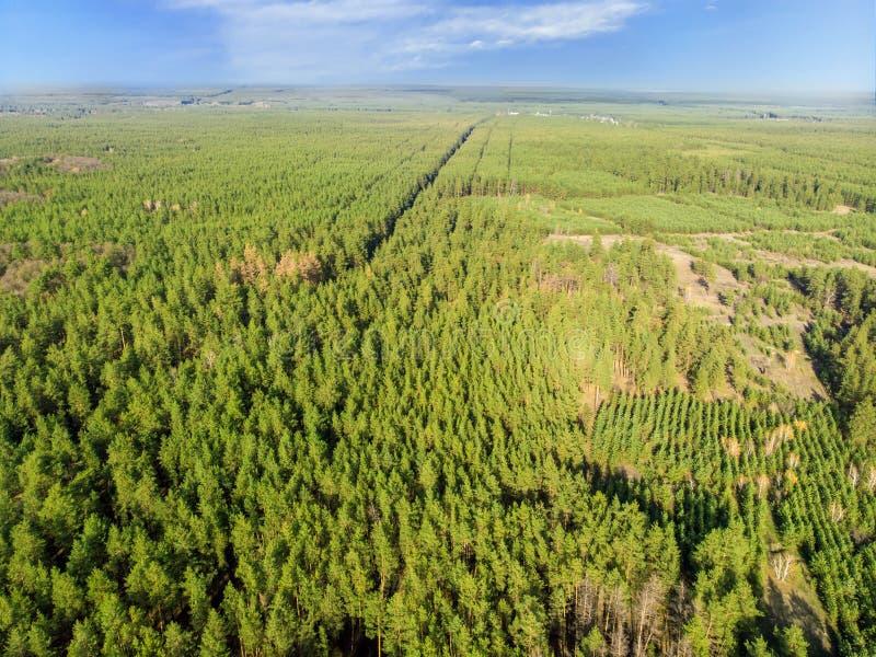 Vista aerea del foret del pino piantato uomo sempreverde File di Straighr degli alberi Inverdimento del pianeta ed ecologico immagini stock libere da diritti