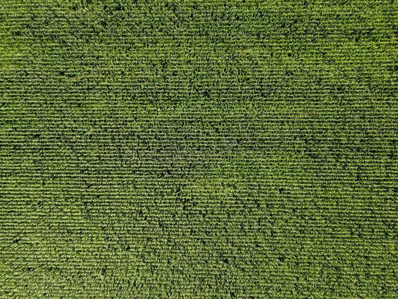 Vista aerea del fuco della piantagione del cereale verde immagine stock