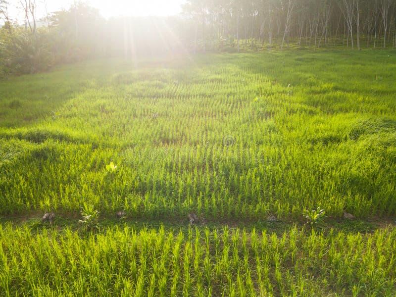Vista aerea del giacimento del riso con la luce calda della sera fotografia stock