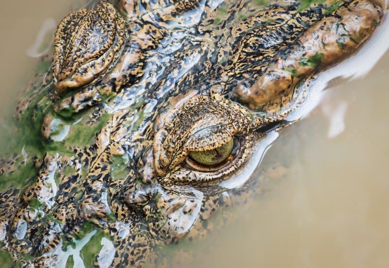 Vista aerea della testa di coccodrillo con occhi nel lago Tonle Sap, Cambogia fotografia stock libera da diritti