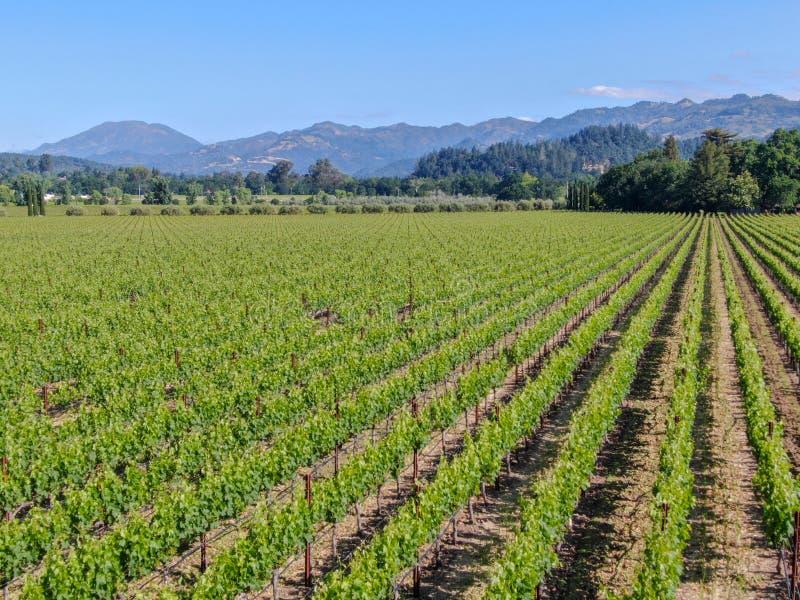 Vista aerea della vigna del vino in Napa Valley fotografie stock