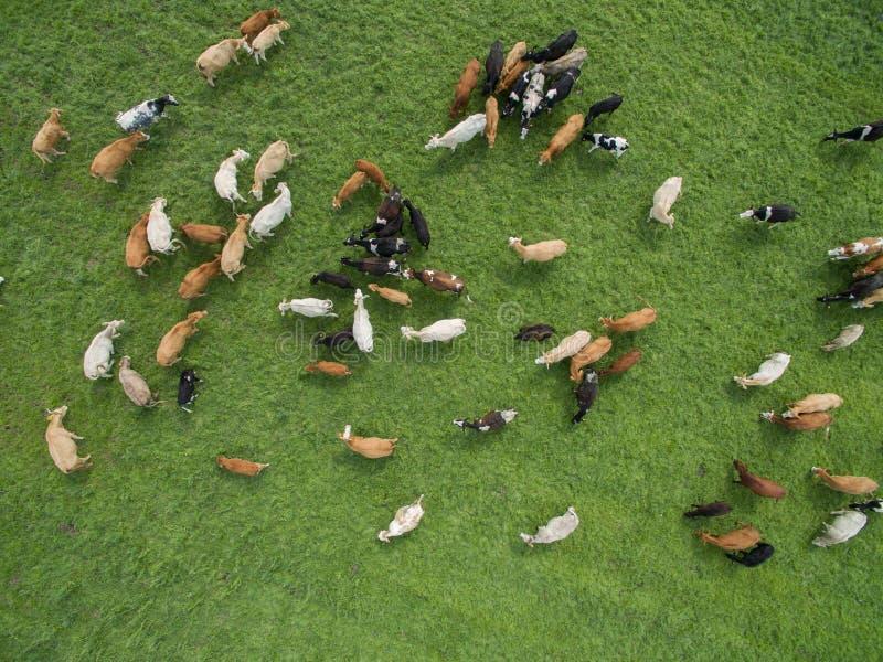 Vista aerea di pascolo delle mucche in un gregge su un pascolo verde di estate immagini stock libere da diritti