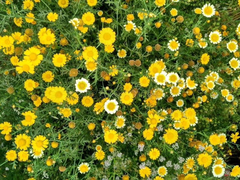 Vista aerea selvaggia dei crisantemi fotografia stock libera da diritti