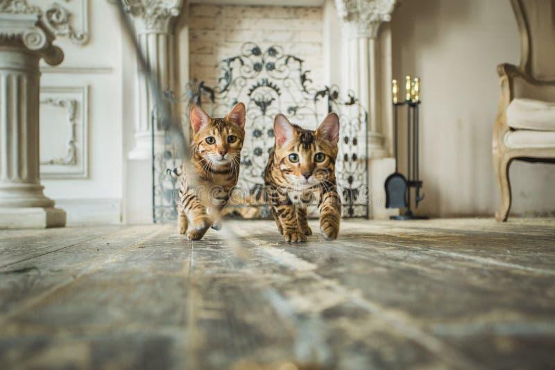 Vista ai due gattini svegli del Bengala che corrono sulla macchina fotografica in studio immagini stock libere da diritti