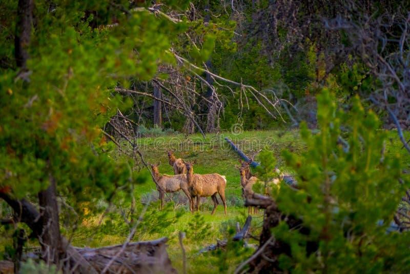 Vista al aire libre hermosa del parque nacional blanco-atado de Yellowstone de los ciervos de la familia foto de archivo