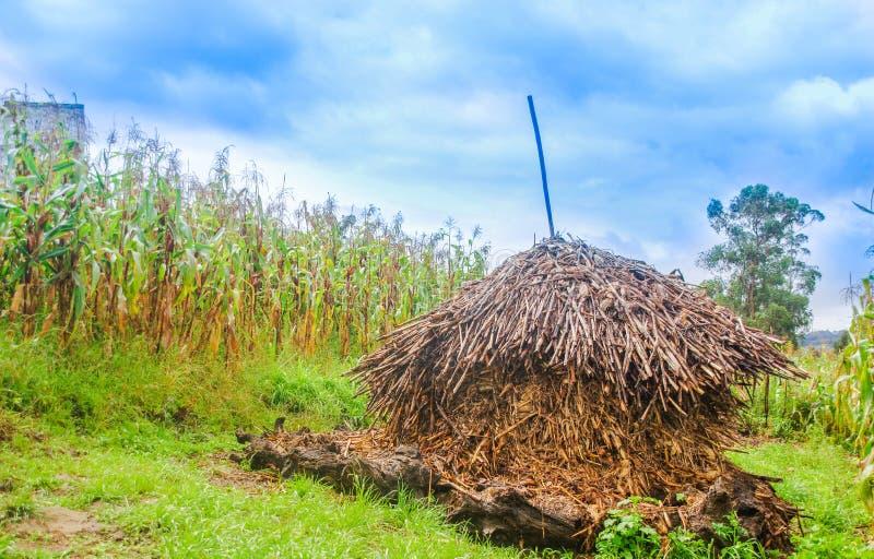 Vista all'aperto delle piante asciutte di cereale, in un mucchio pronto ad essere ustione vicino ad un campo di grano in un giorn immagine stock libera da diritti
