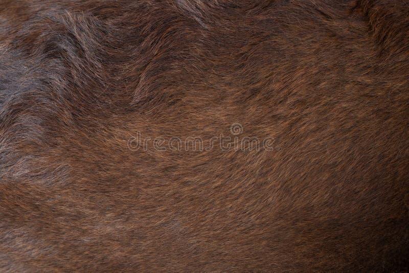 Vista alta vicina del felted dei peli marroni scuri del cane sano brillante della pelliccia riccia del cane di labrador fotografia stock