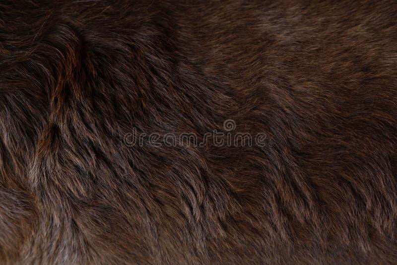 Vista alta vicina del felted dei peli marroni scuri del cane sano brillante del cane di labrador ricci immagine stock