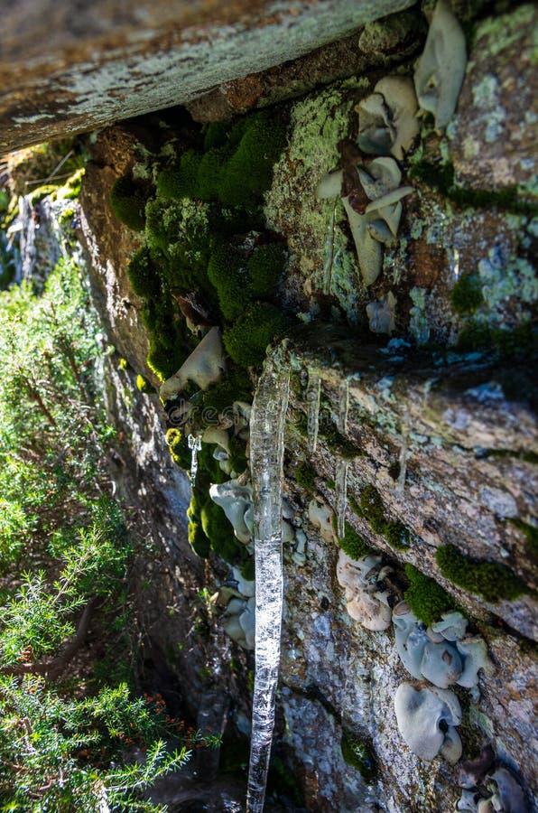 Vista alta vicina di un ghiacciolo sotto una roccia con muschio ed il lichene immagine stock