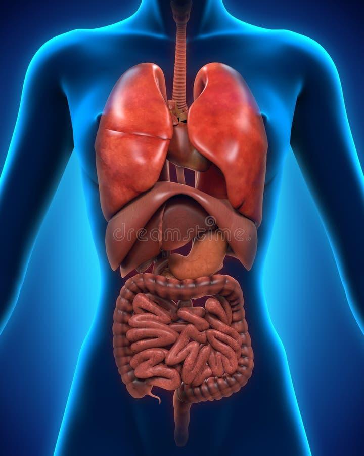 Vista anteriore del corpo umano royalty illustrazione gratis