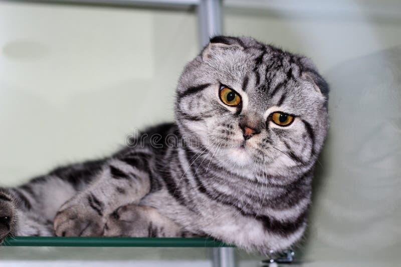 Vista aproximada do lindo gato-do-mato-pequeno escocês, com olhos laranja expressivos, está na prateleira de vidro e observa imagem de stock royalty free