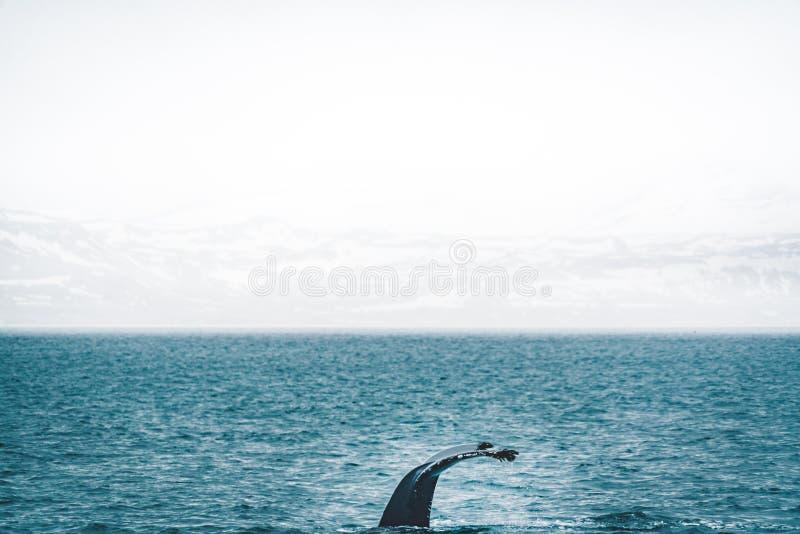 Vista ascendente cercana de la cola de la ballena jorobada que salta en la agua fría de Océano Atlántico en Islandia Concepto de  imagen de archivo