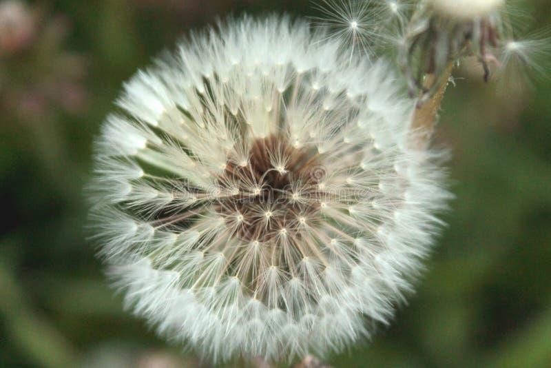 Vista ascendente cercana de la flor blanca del diente de le?n foto de archivo