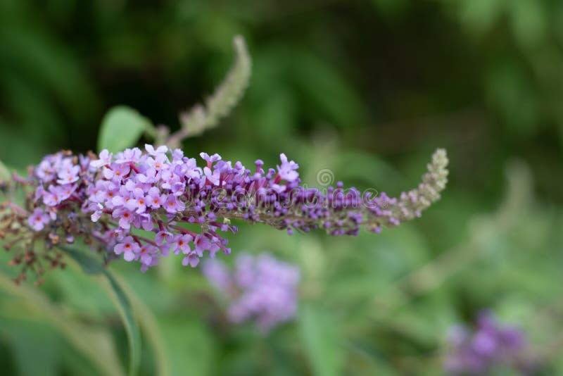 Vista ascendente cercana de la floración del davidii del Buddleia o del Buddleia de Buddleja La planta se conoce comúnmente como  imagenes de archivo