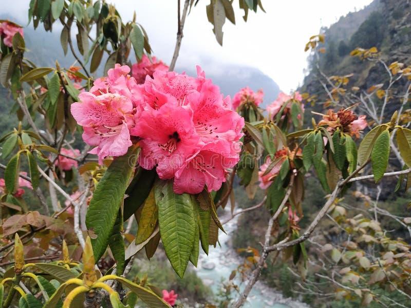Vista ascendente cercana de las flores del rododendro y del río rosados de la montaña en el fondo en Nepal fotografía de archivo libre de regalías