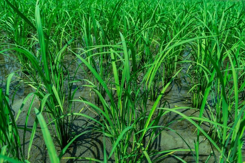 Vista ascendente cercana de las hojas verdes del arroz en el campo del arroz imágenes de archivo libres de regalías