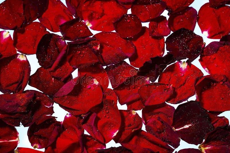 Vista ascendente cercana de pétalos color de rosa rojos en fondo del agua blanca E foto de archivo libre de regalías