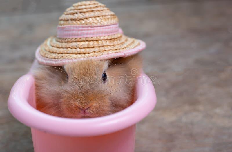 Vista ascendente cercana del pequeño conejo de conejito marrón claro lindo con el sombrero en bañera rosada en la tabla de mad fotografía de archivo