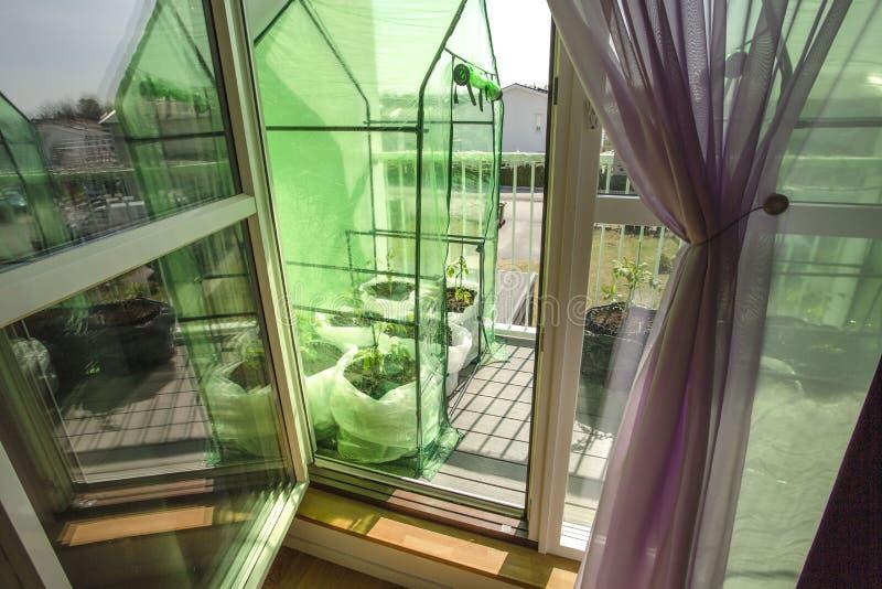 Vista ascendente cercana del pequeño invernadero con las plantas de tomate en balcón Concepto sano de la consumici?n Concepto de  imagenes de archivo