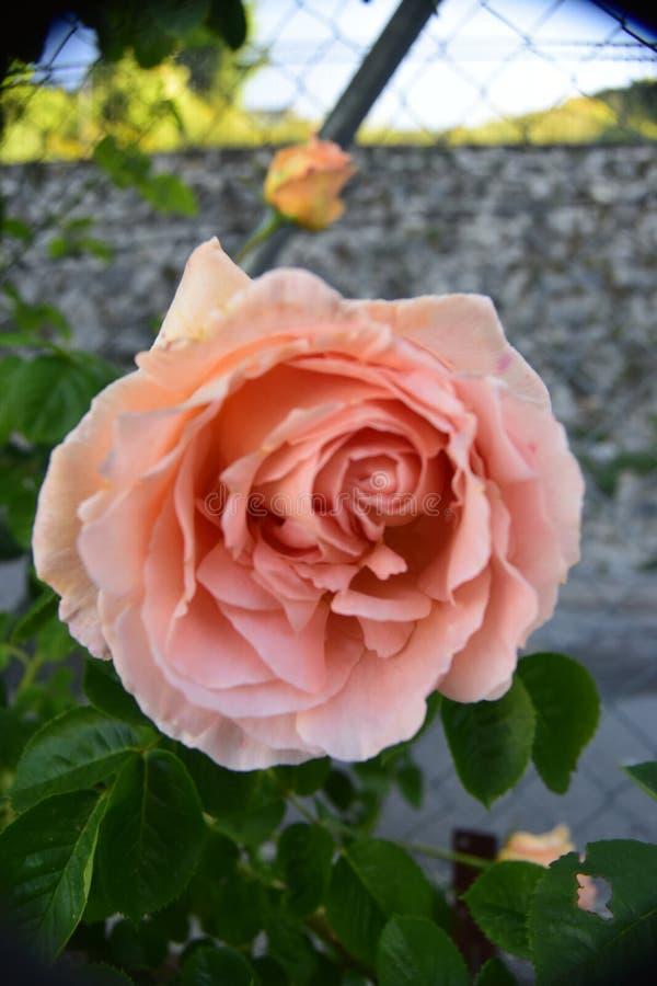 Vista ascendente cercana del rosas con el bokeh agradable como fondo fotografía de archivo