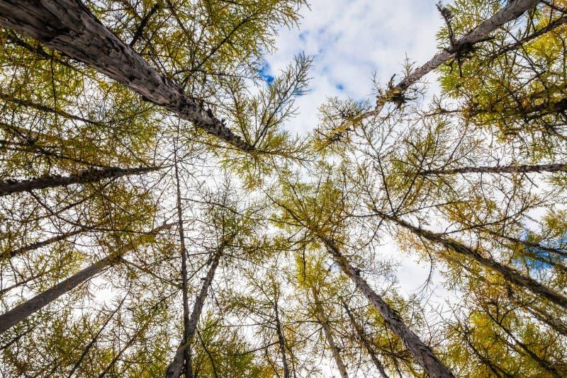 Vista ascendente na floresta do larício fotografia de stock