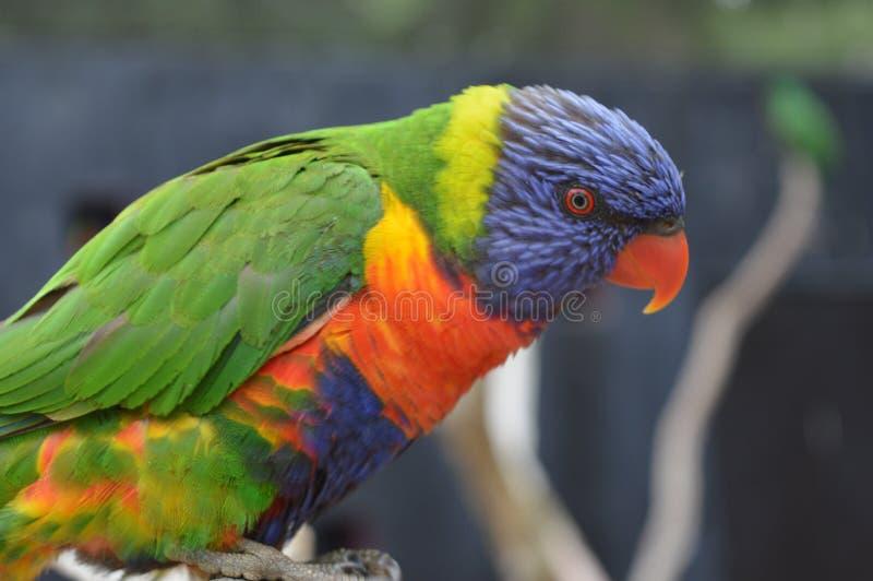 Vista ascendente próxima ao papagaio colorido e bonito fotos de stock royalty free