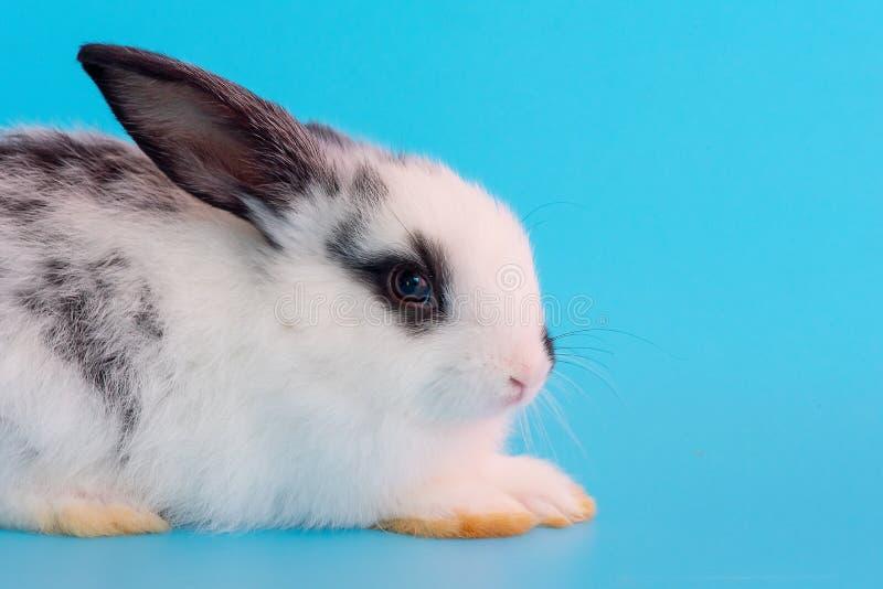 Vista ascendente próxima de pouco coelho de coelho preto e branco no fundo azul fotos de stock royalty free