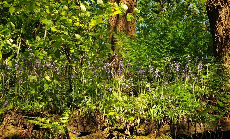 Vista ascendente próxima do assoalho da floresta com samambaias e as campainhas inglesas selvagens na luz solar da primavera imagens de stock royalty free