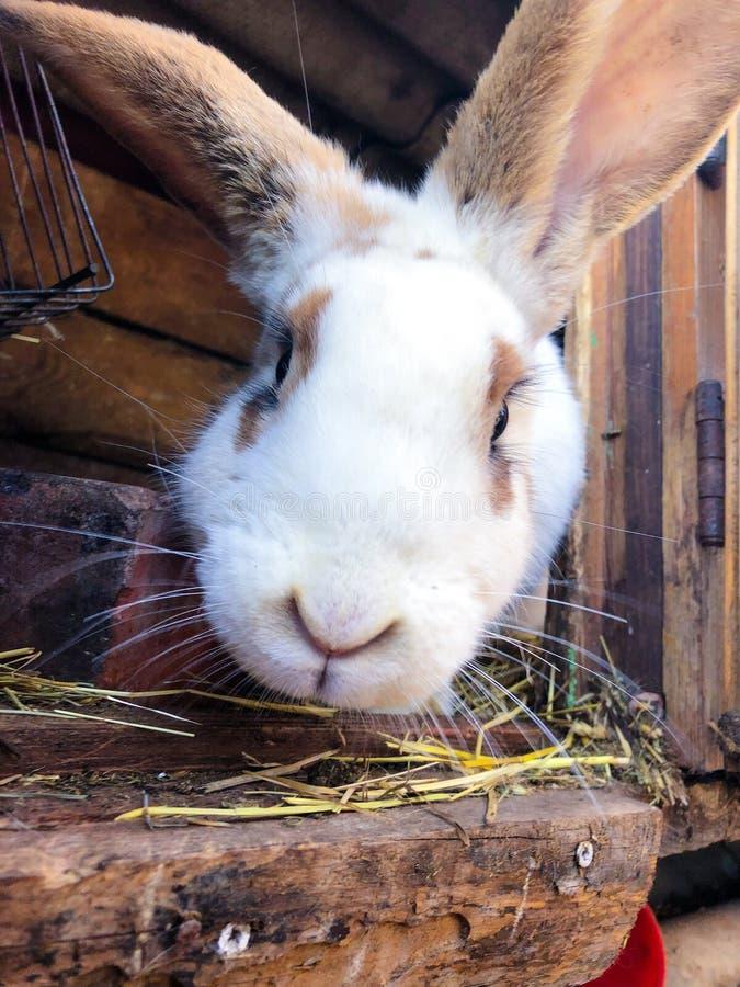 Vista ascendente próxima do coelho europeu da exploração agrícola que olha na câmera Coelho bonito em uma gaiola na explora foto de stock royalty free