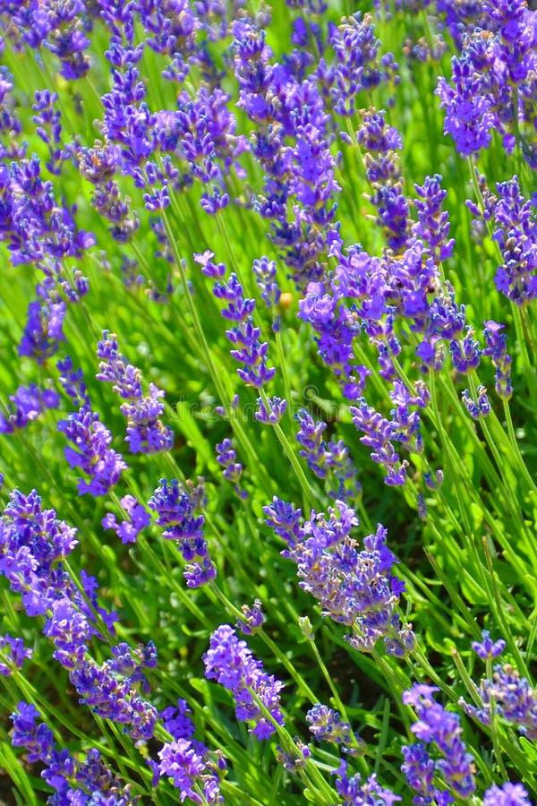 Vista asombrosa del sabio harinoso floreciente, farinacea de Salvia, fotografiado cerca para arriba La hierba curativa p?rpura as imagen de archivo libre de regalías