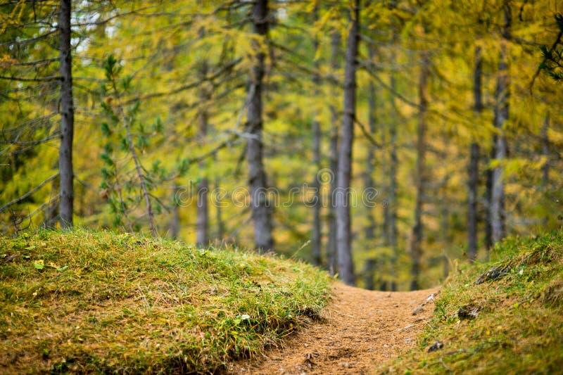 Vista bassa di profondità di campo di un sentiero per pedoni con il larice colorato più forrest nei precedenti immagine stock