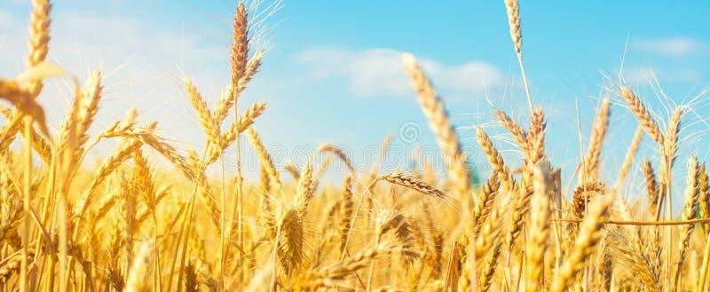 Vista bella del giacimento e del cielo blu di grano nella campagna Coltivazione dei raccolti Agricoltura e coltivare Agroindustri immagine stock libera da diritti