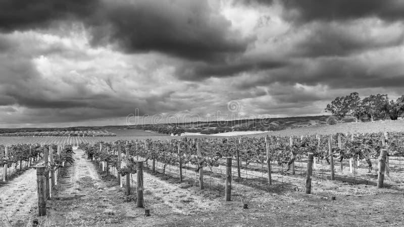 Vista blanco y negro hermosa de algunos viñedos del valle de McLaren debajo del cielo dramático, Australia meridional foto de archivo