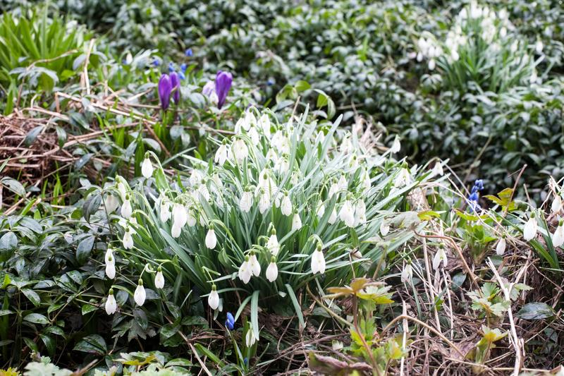 Vista blu e bianca del primo piano dei bellflowers della molla di bucaneve immagine stock libera da diritti