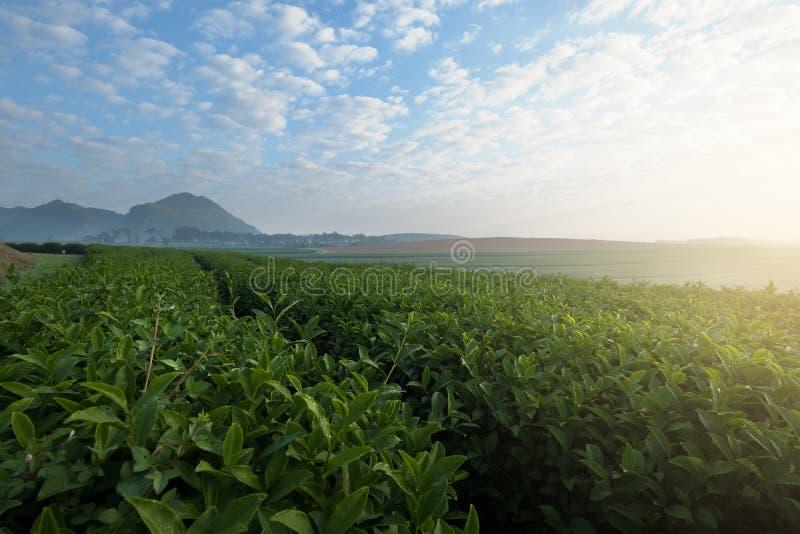 Vista bonita da plantação de chá foto de stock royalty free