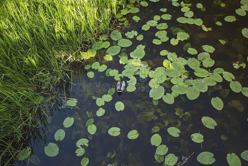 Vista bonita de escuro - água azul do lago com lírios de água, pato e o carriço verde no por do sol foto de stock