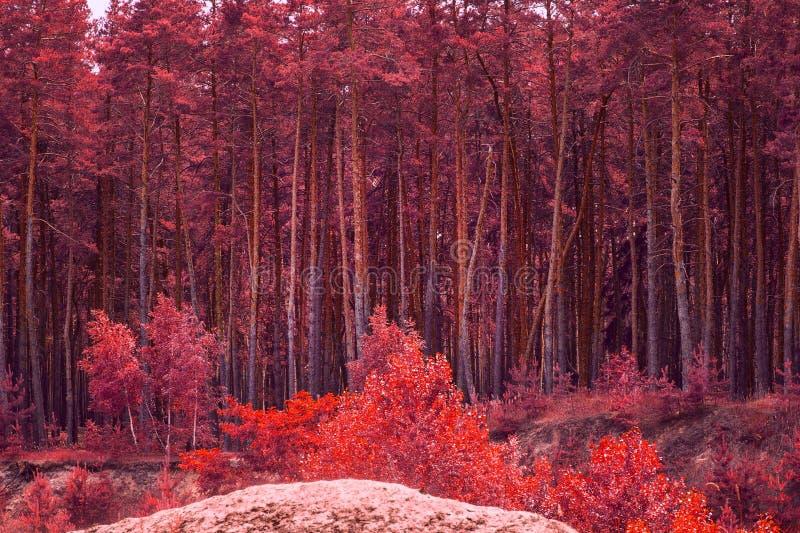 Vista bonita de uma floresta fantástica do outono com os pinhos vermelhos altos fotos de stock