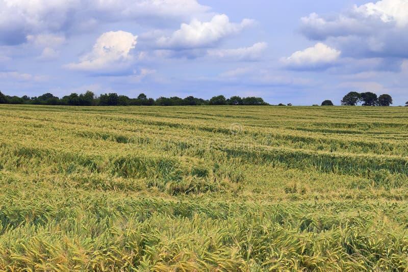 Vista bonita em campos agrícolas da colheita e de trigo em um dia de verão ensolarado encontrado em Europa do Norte foto de stock royalty free