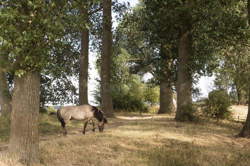 Vista cênico nos bancos do Bisonbaai no Ooijpolder perto de Nijmegen Güéldria nos Países Baixos com cavalo de Konik fotografia de stock royalty free
