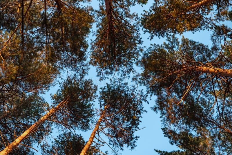 Vista c?nico da ?rvore muito grande e alta na floresta na manh? Vista acima imagem de stock