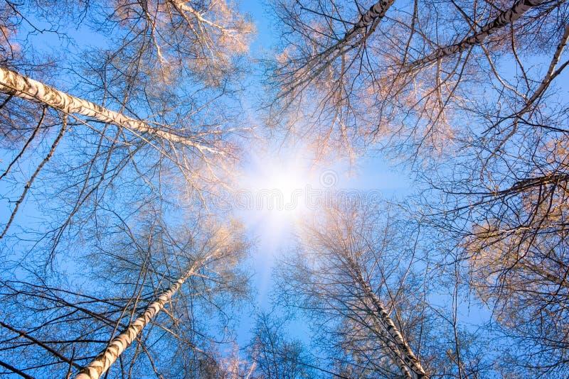 Vista c?nico da ?rvore muito grande e alta na floresta na manh? com feixe do sol - olhando acima fotos de stock royalty free