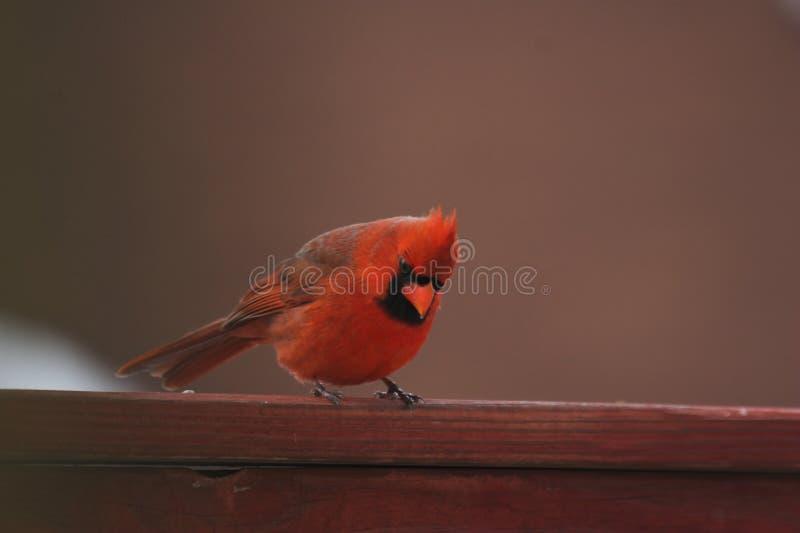 Download Vista cardinal foto de stock. Imagem de consideravelmente - 531378