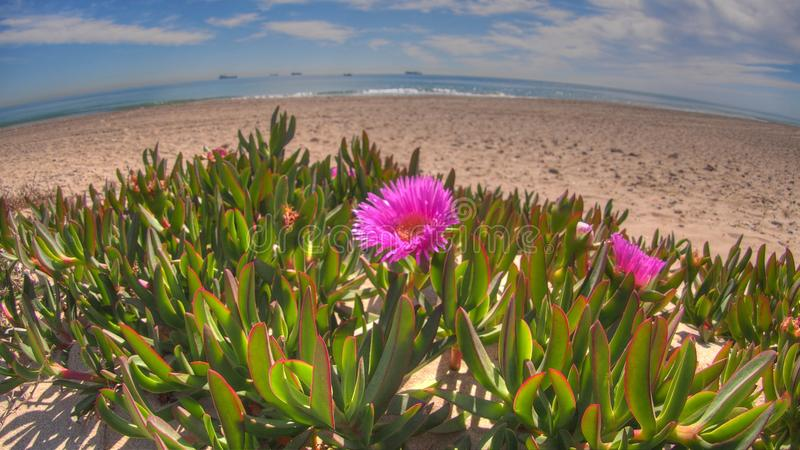 Vista cercana de flores color de rosa en la playa mediterránea fotos de archivo libres de regalías