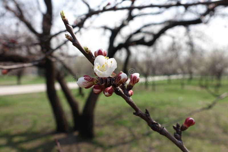 Vista cercana de flores y de brotes del albaricoque en primavera imagenes de archivo