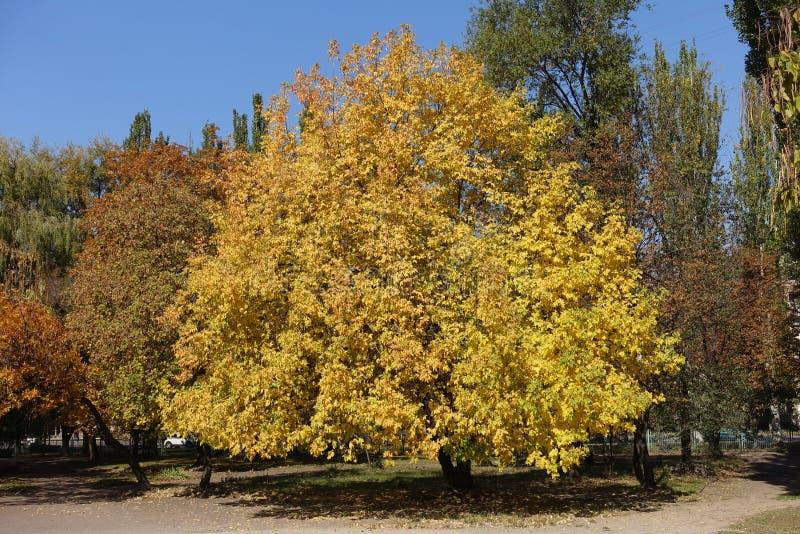 Vista completa di un albero di cenere in ottobre immagine stock
